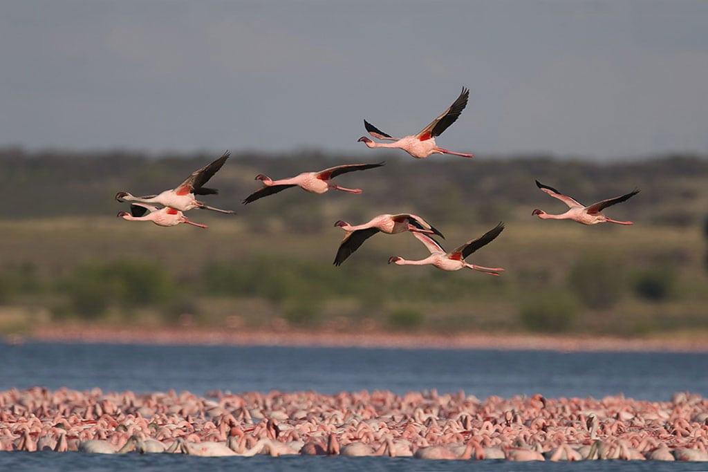 Las aves migratorias son amenazadas por la caza, la captura y el comercio ilegal. Foto: Mark Anderson