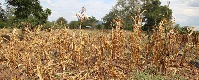 Cultivos secos en Malavi. Foto: OCHA / Tamara van Vliet