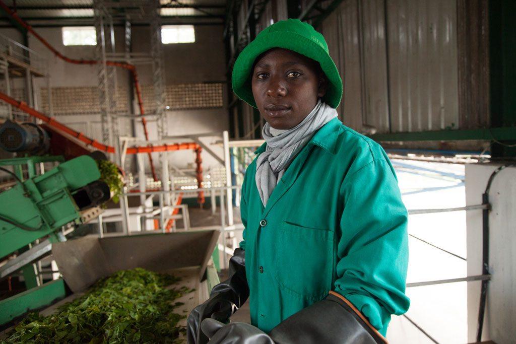 Trabajador de una plata procesadora de té en Rwanda. Foto: Banco Mundial