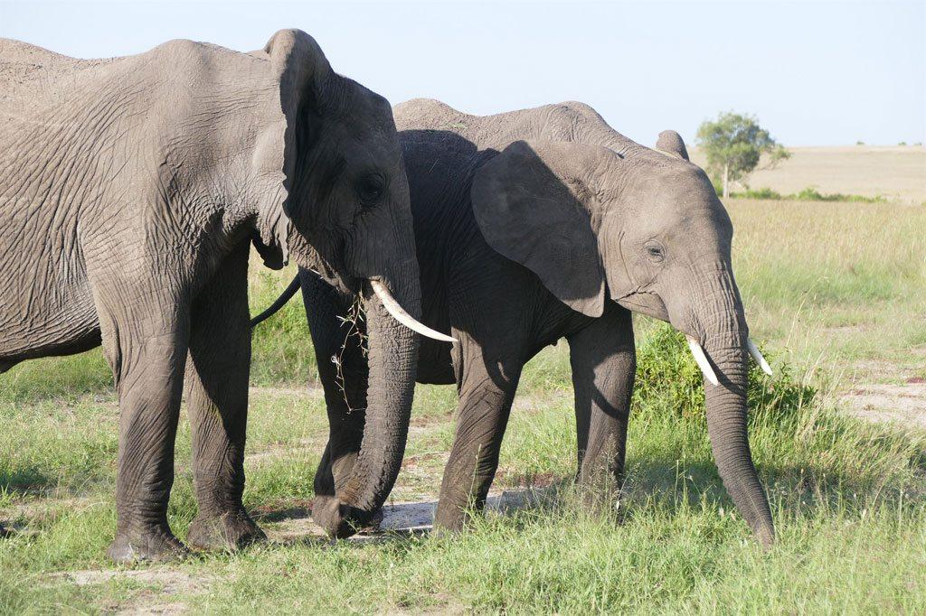 Des éléphants dans la Réserve nationale Maasai Mara, au Kenya. Photo: UNEP GRID Arendal/Peter Prokosch