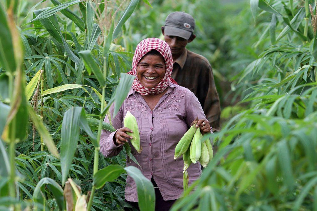 hoeun récolte du maïs dans sa ferme à Kampong Cham, au Cambodge. Photo: Chhor Sokunthea / Banque mondiale