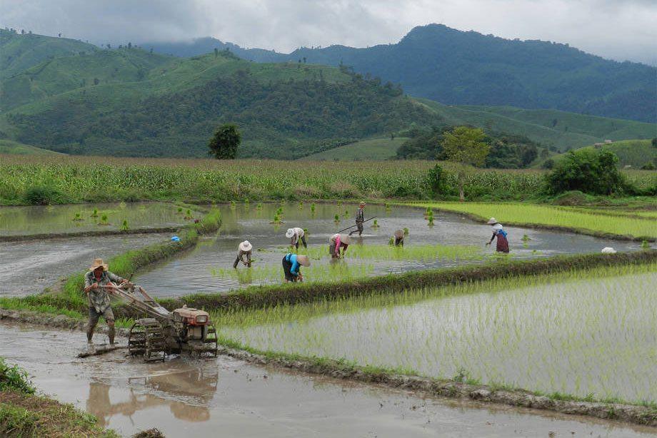 Des rizières au Laos. Photo FAO
