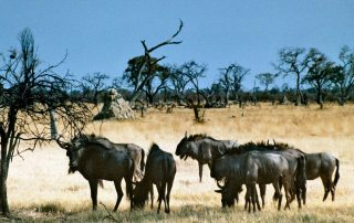 Photo: Wildebeest seek grass in Africa.
