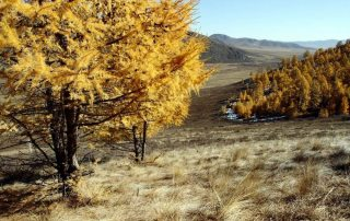 Photo: Larch trees in Mongolia's Altansumber forest. Photo: FAO/Sean Gallagher