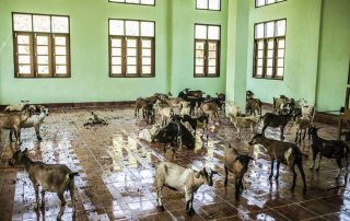 Photo: Goats await sorting in a school in Maungday, Myanmar.