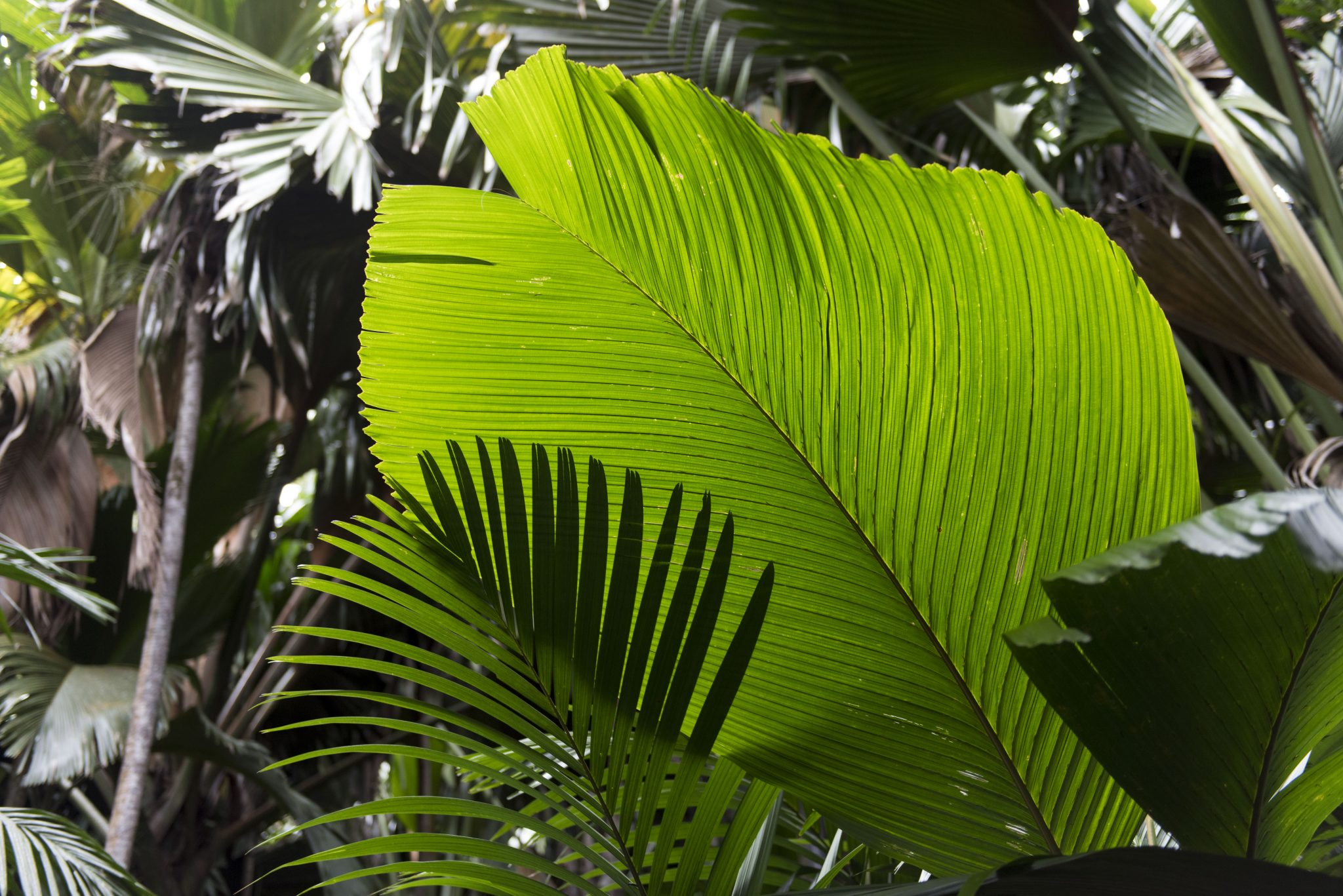 Photo: Detail of palm leaves in the Primeval Palm forest during the trip of Secretary-General Ban Ki-moon to Praslin Island to visit the Vallée de Mai Nature Reserve, a UNESCO World Heritage Site.
