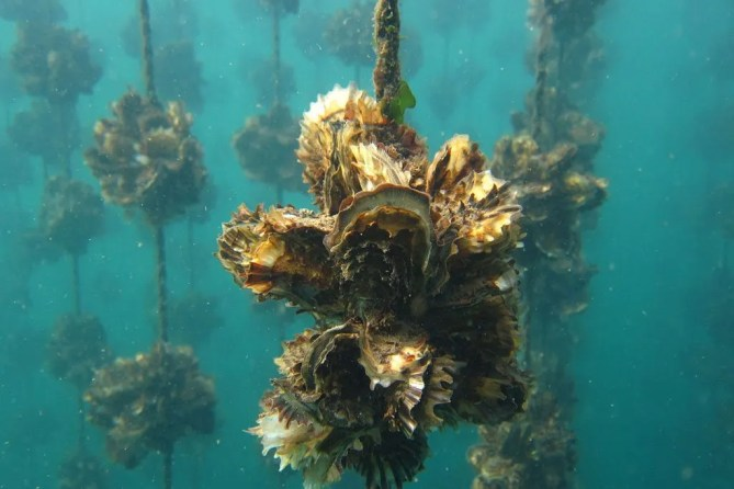 Oysters growing in Kesennuma Bay. Photo/Mori wa Umi no Koibito