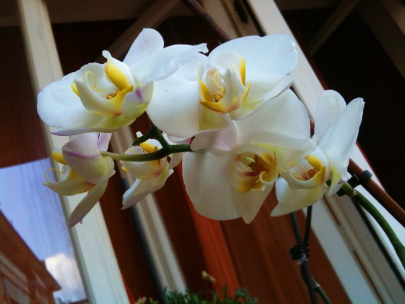 Fioritura orchidea bianca rinvaso