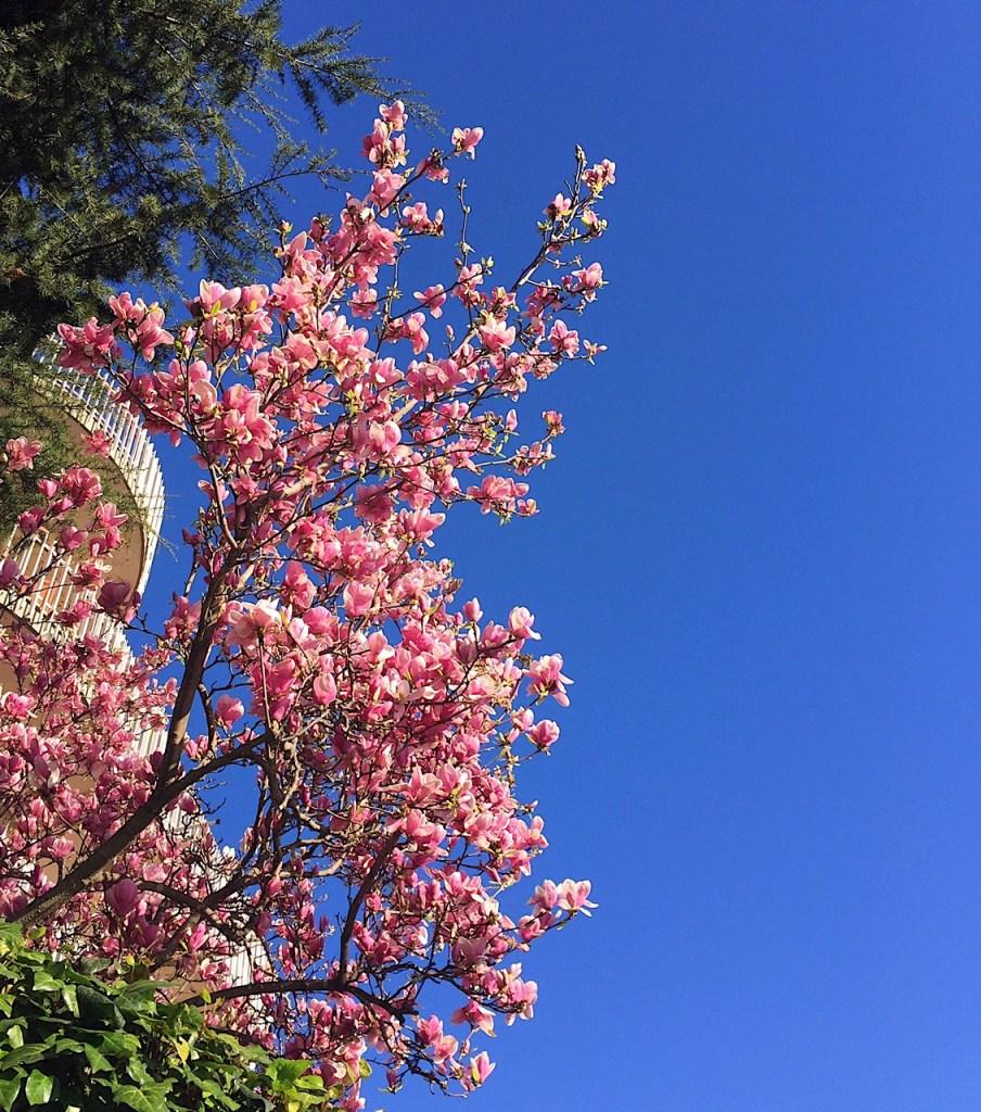 Desideri Magnolia