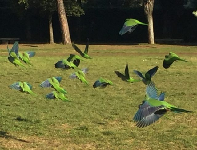 pappagalli a Villa Pamphili
