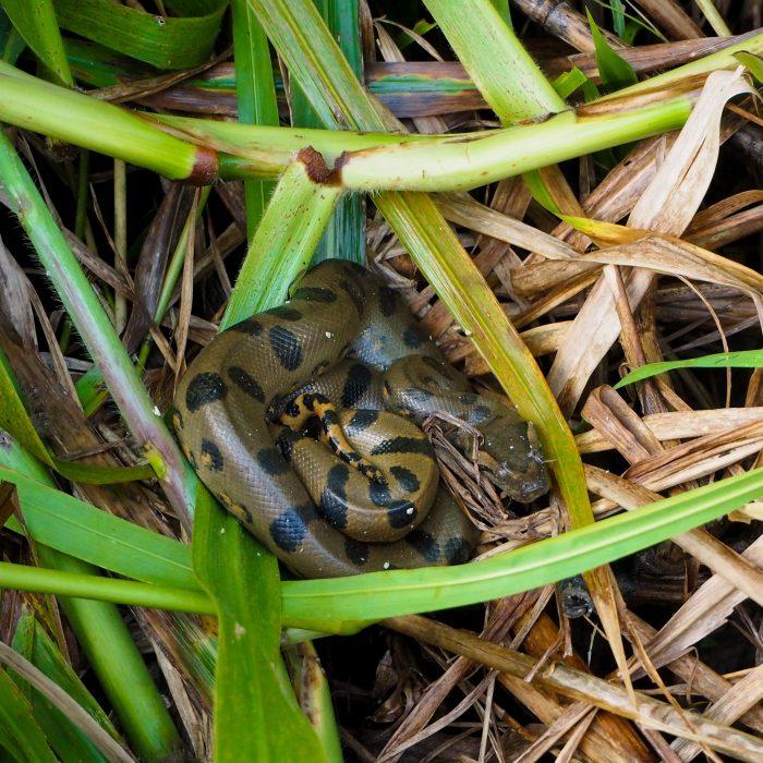 Anaconda in Amazzonia