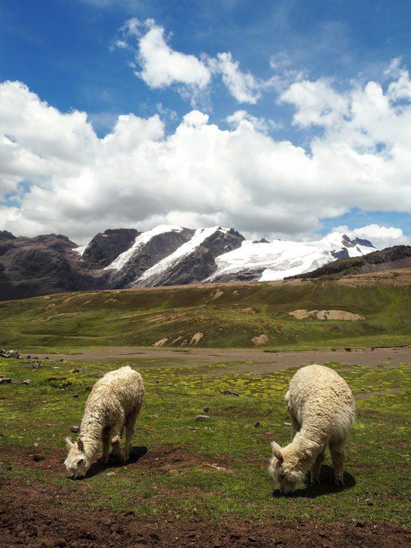 Alpaca lungo la strada per la montagna arcobaleno