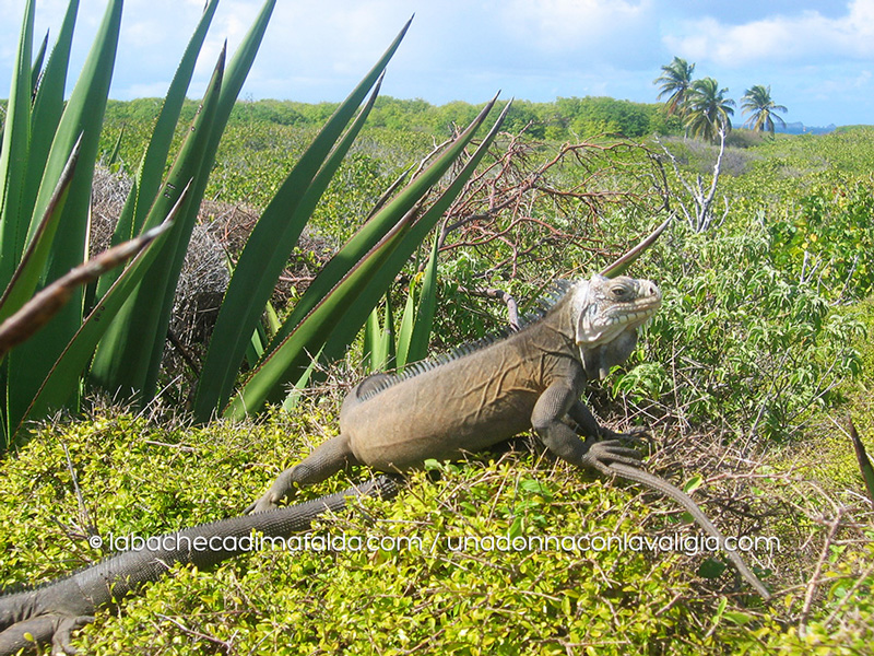 iguana-delicatissima