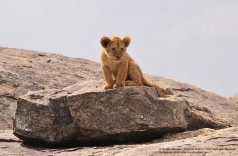 leone, cucciolo, serengeti, tanzania