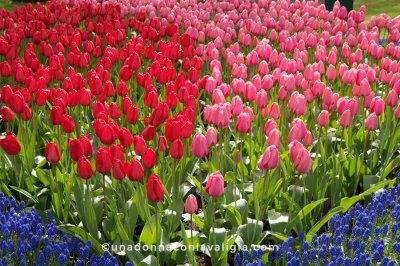 tulipani-rossi-ok