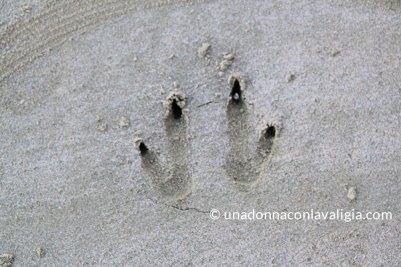 impronta di canguro sulla sabbia