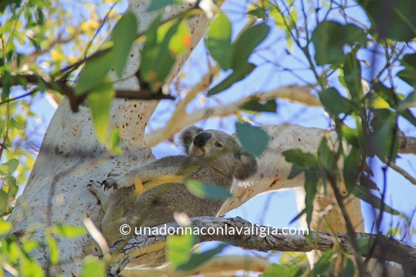 Koala Magnetic Island Queensland Australia