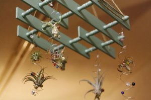 Air plants hang from a repurposed trinket shelf.