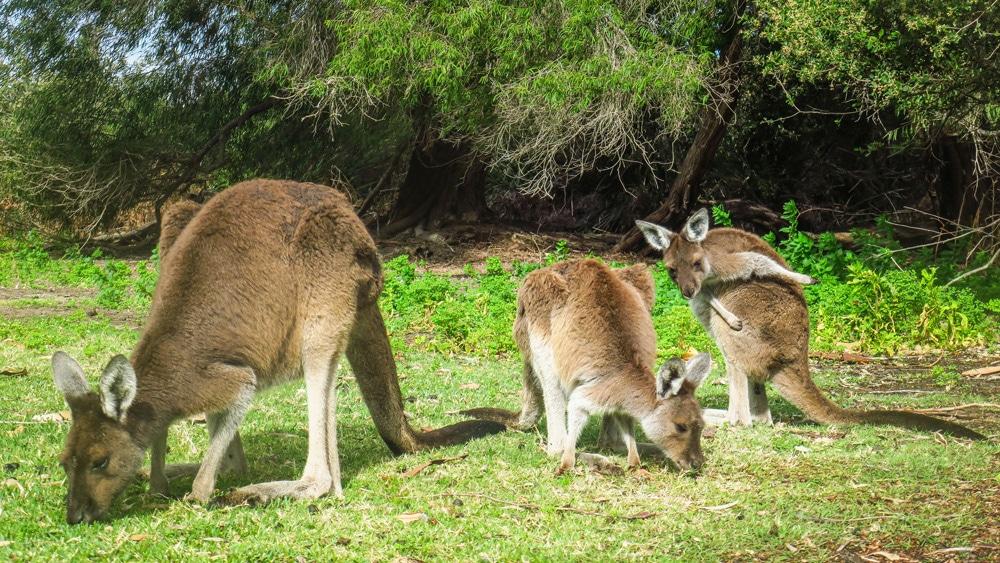 Kangourous à Yanchep