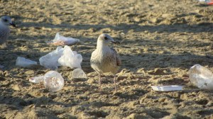 Globos-basura-marina-enemiga-de-aves-UNAMGlobal