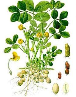 Pianta e frutti di arachide. Fonte: wikipedia.org