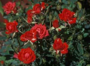 rose-cespuglio