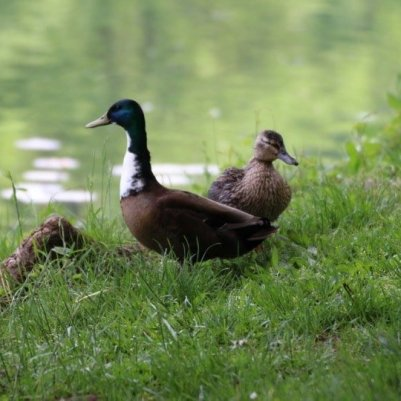 canards des étangs de Corot