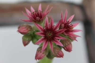 Une joubarbe fleurie