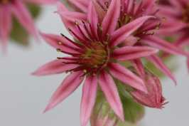joubarbe fleurie