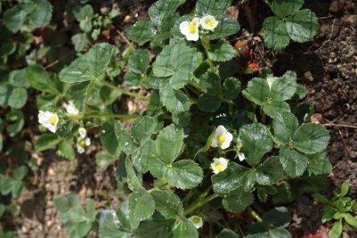 fleurs fraisiers
