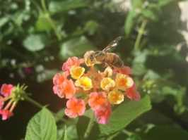 lantana et abeille
