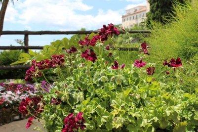 geraniums pourpres villa rufolo