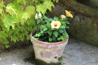 hibiscus jaune villa rufolo