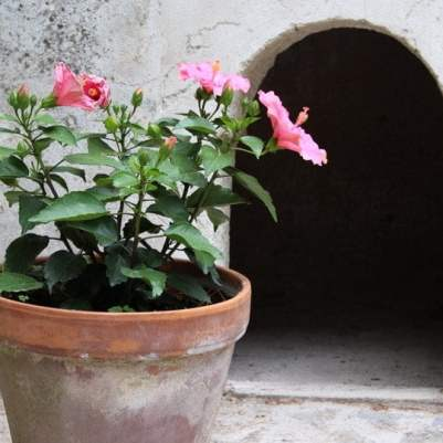 hibiscus rose villa rufolo