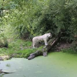 vue tigre blanc