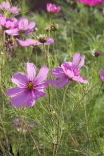 Cosmos roses