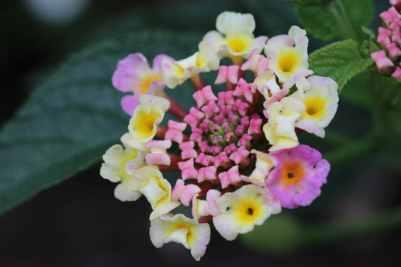 Lantana rose et jaune