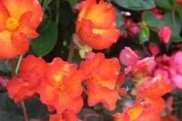 Begonias orange