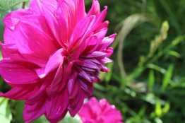 Dahlia rose à Coutances