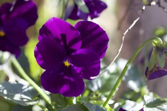 En Automne Et En Hiver Les Pensees Fleurissent Nos Jardins