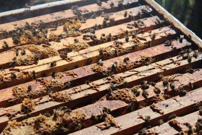 abeilles-apres-ouverture-de-la-ruche