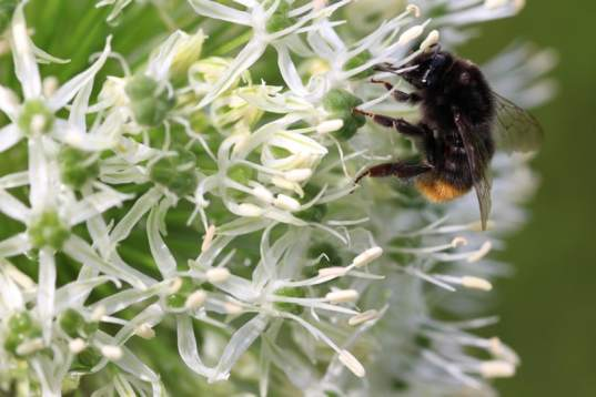 Bourdon sur un allium
