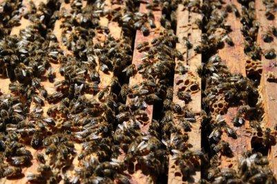 interieur-de-la-ruche-et-abeilles
