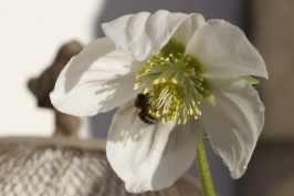 abeille dans hellébore