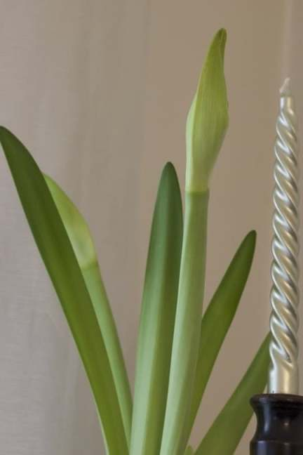 Amaryllis blanche