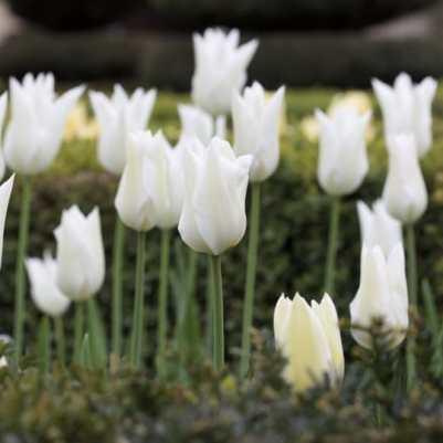 Tulipes du jardin de l'amour
