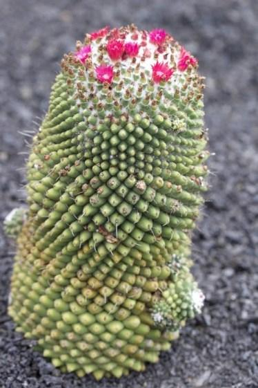 Guatiza jardin des cactus