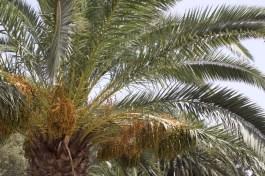 palmier à Lanzarote