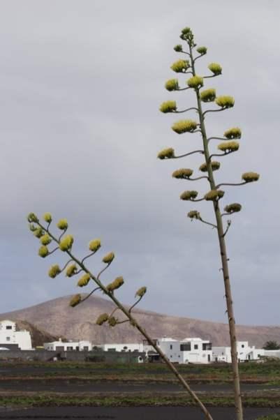 pitera de Lanzarote