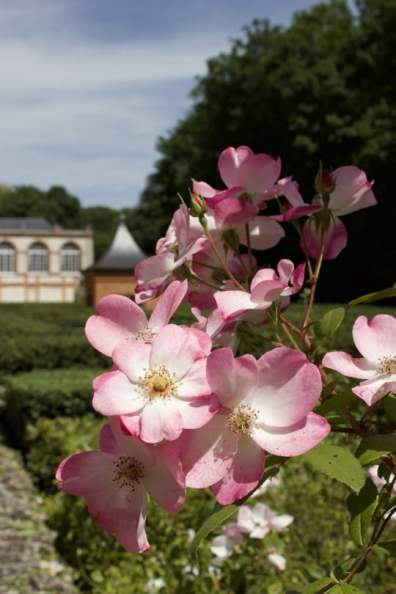 roses devant le labyrinthe du château de Breteuil